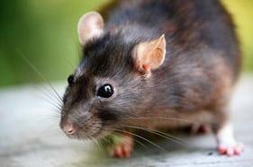 Ratos – Controle de Pragas na Riograndense Serviços